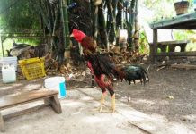 Peluang dan Strategi Bisnis Ayam Bangkok
