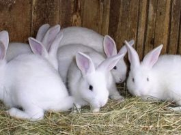 Usaha Ternak Kelinci, Usaha Rumahan Modal Kecil yang Menggiurkan