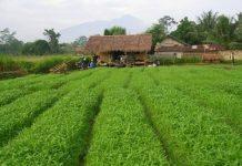 Cara Praktis Bisnis Sayur Kangkung Darat
