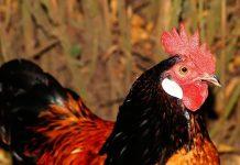 Rahasia Ternak Ayam Kampung agar Sukses Secara Semi Intensif
