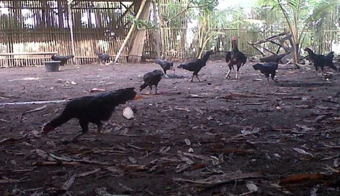 Jenis Kandang Ayam Berdasarkan Cara Pemeliharaan
