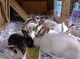 Panduan Lengkap Cara Ternak Kelinci Anggora yang Baik