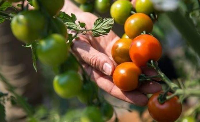 Cara Menanam Tomat yang Baik dan Benar Menurut Balai Pengkajian Teknologi Pertanian